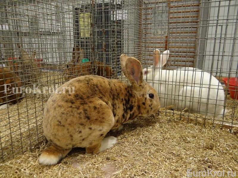 Кролик рекс гепард