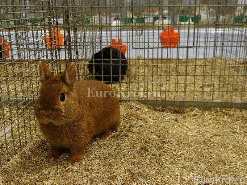 Карликовые кролики оранж
