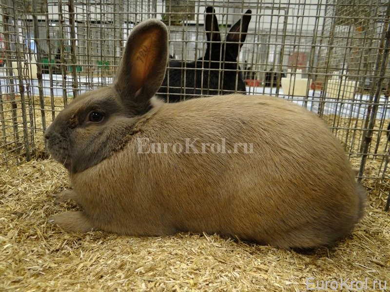 Кролик изабелла