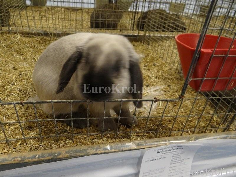 Карликовые кролики из Европы