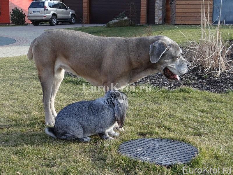 Кролик французский баран шиншилловый