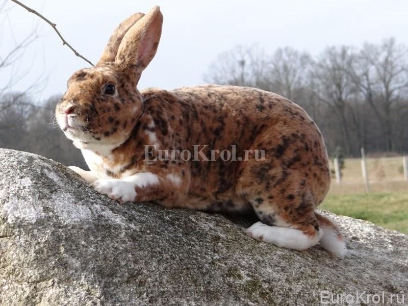 Кролик рекс гепардового окраса
