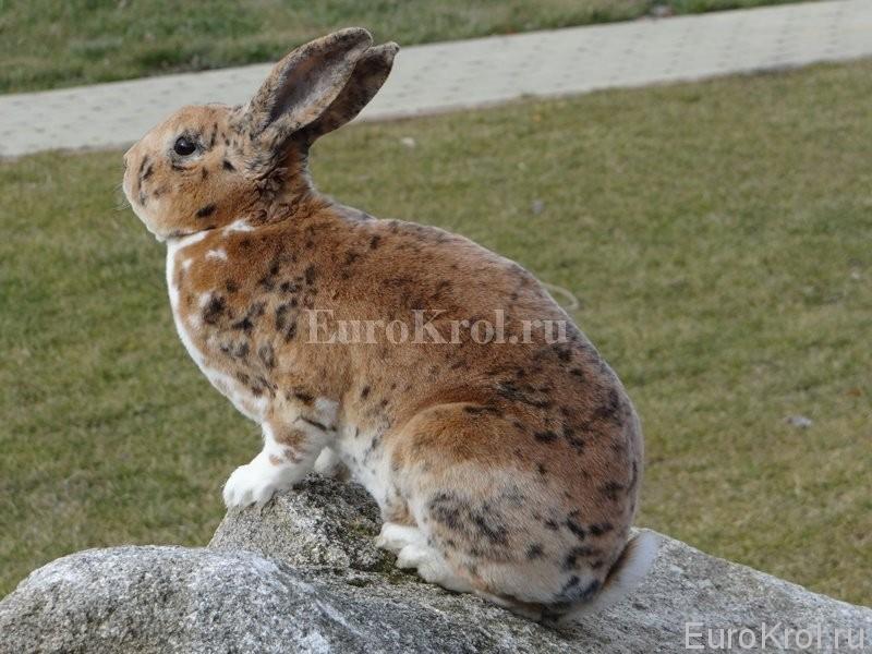 Кролики рексы редких окрасов