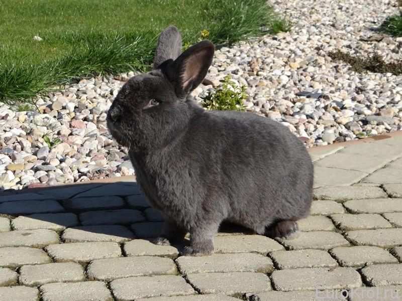 Венский голубой кролик на прогулке