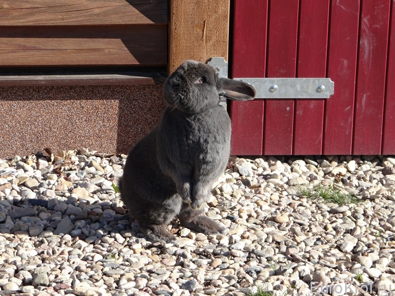 Венский голубой кролик гуляет