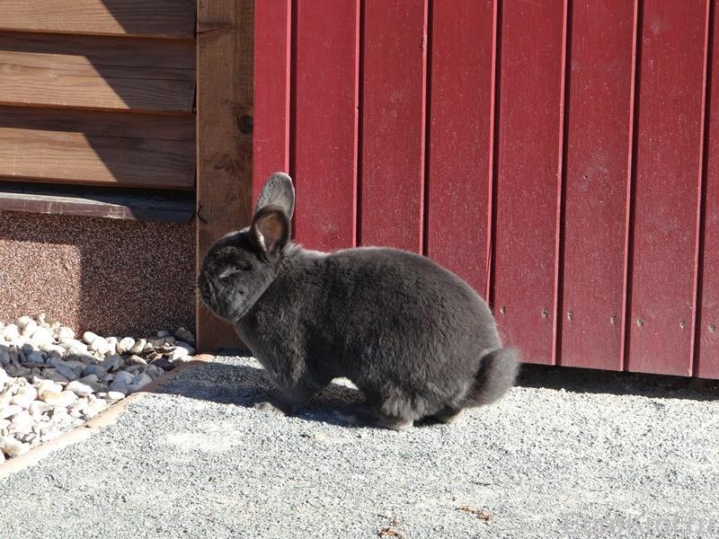 Венский кролик окрас голубой