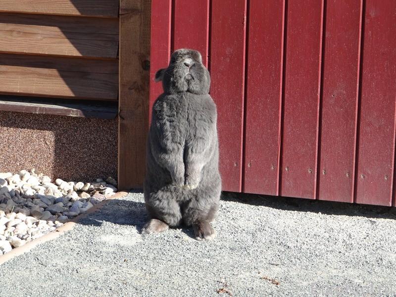 Венский кролик голубого окраса