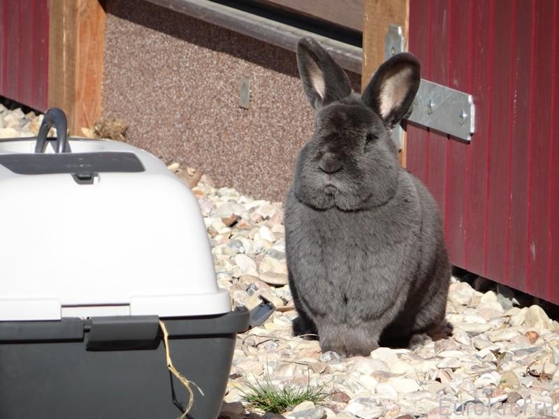 Голубой Венский кролик