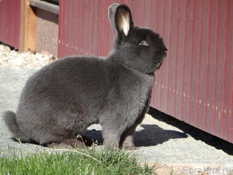 Венский голубой кролик у забора