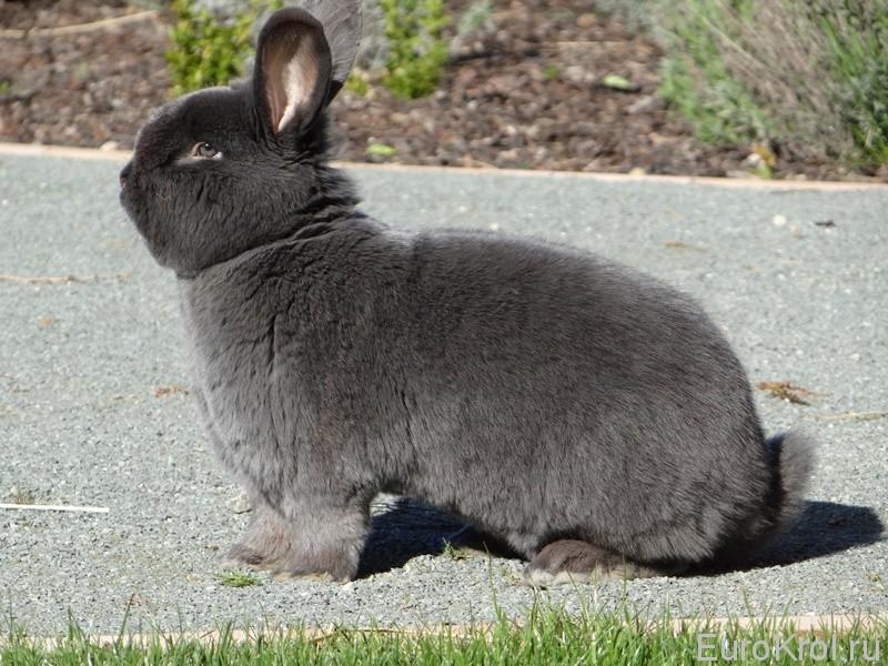 Венский голубой кролик в Чехии