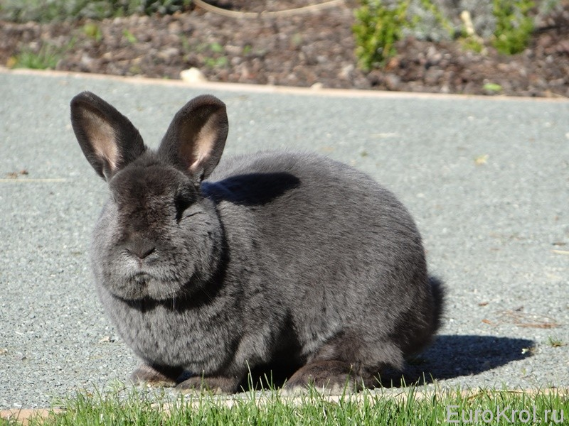 Венский голубой кролик в стойке