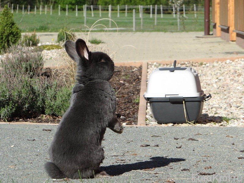 Венский голубой кролик на гравии