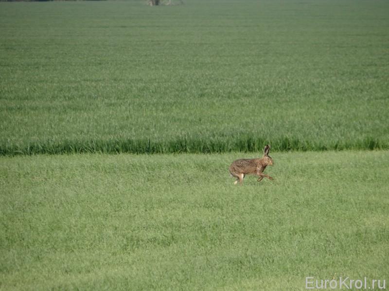 Весенний гон у зайцев