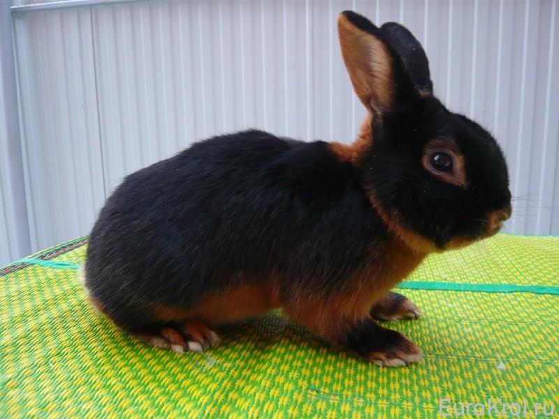 Кролик породы чёрно-огненный