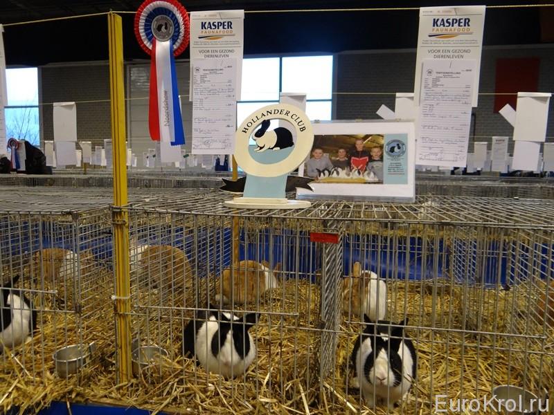 Голландский кролик на выставке в Голландии