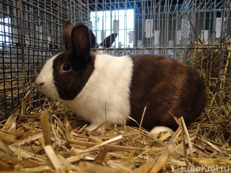Голландский кролик окрас гавана