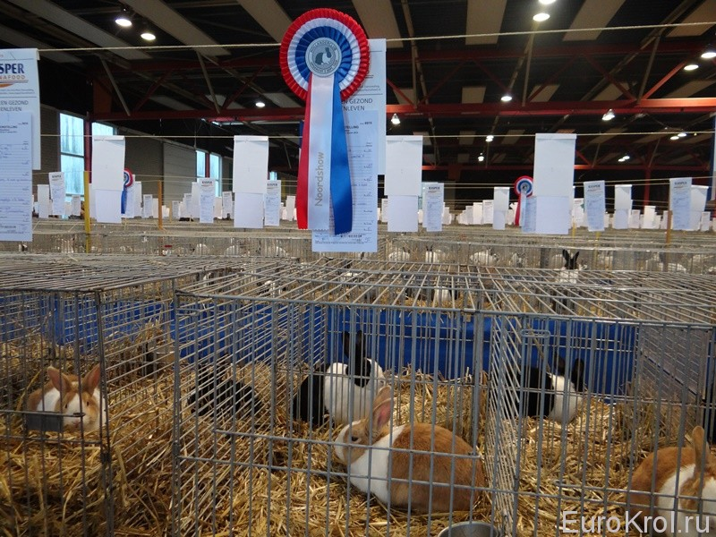 Голландские  кролики выставка
