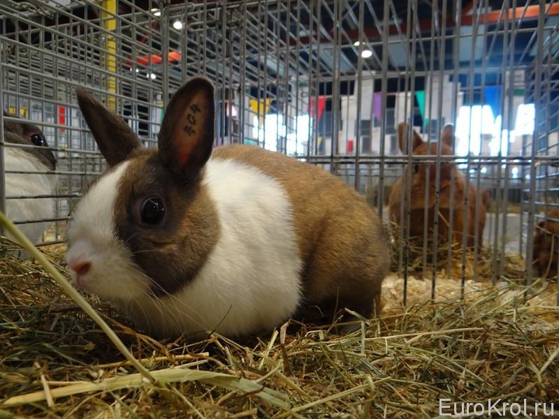 Голландский кролик тюрингенского окраса