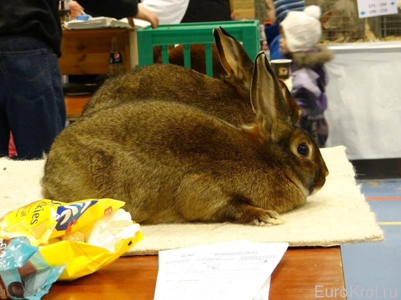 Сатиновый кролик серый