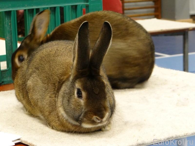 Сатиновый кролик выставка