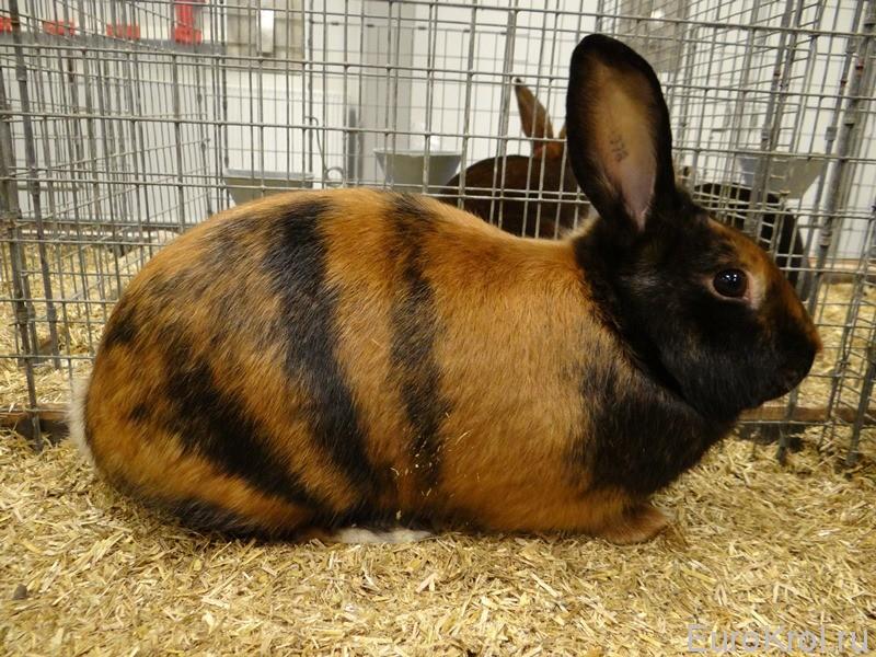 Сатиновый кролик японского окраса