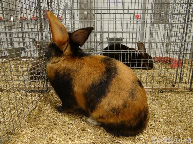 Сатиновый кролик японского окраса на выставке
