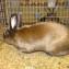Кролик сатин изабелла
