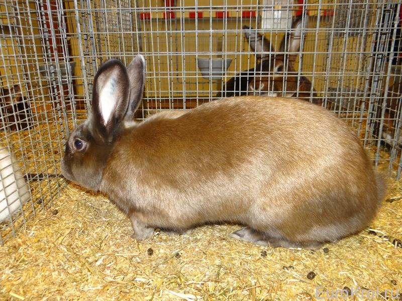 Кролик сатин изабелла на выставке