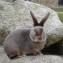 Кролик сатин люкс