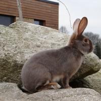 Сатиновый кролик