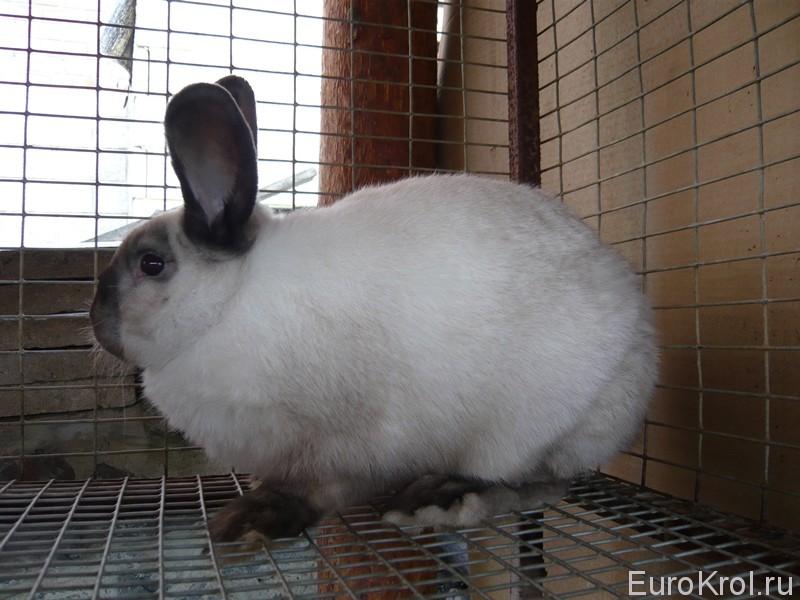 Сиамский кролик
