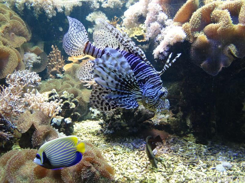 Рыба крылатка зебра