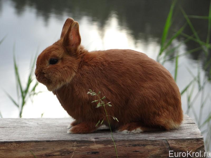 Карликовый красный кролик