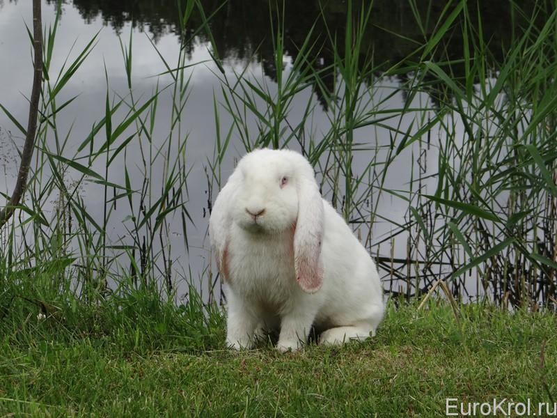 Кролик французский баран белый