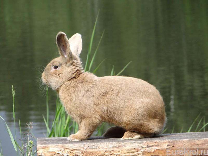 Земплинский кролик сидит и смотрит