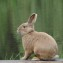 Земплинский кролик