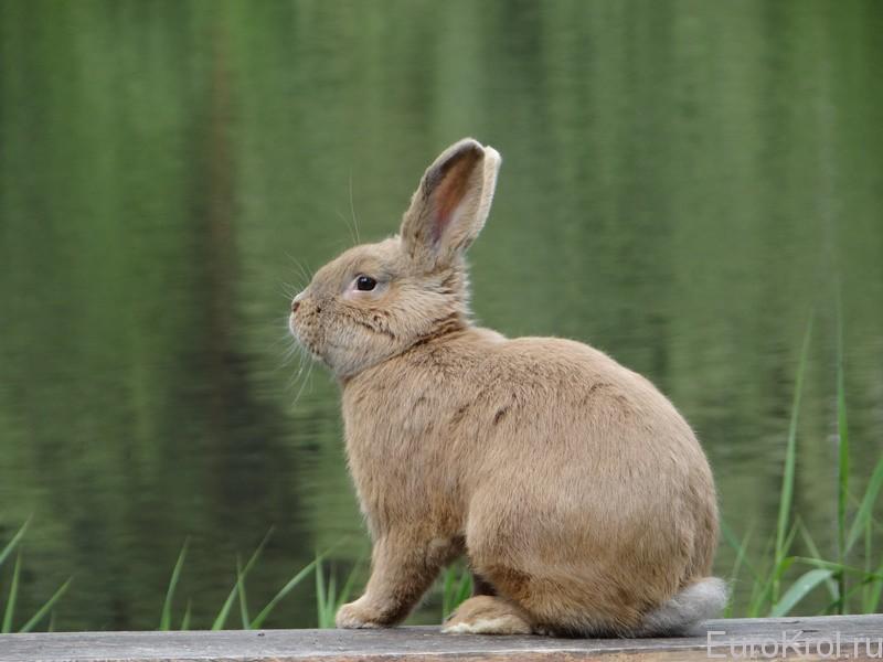Земплинский кролик на лавке