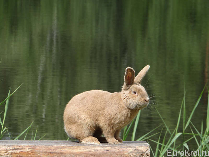 Земплинский пастеловый кролик на задних лапах