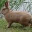 Земплинский пастеловый кролик