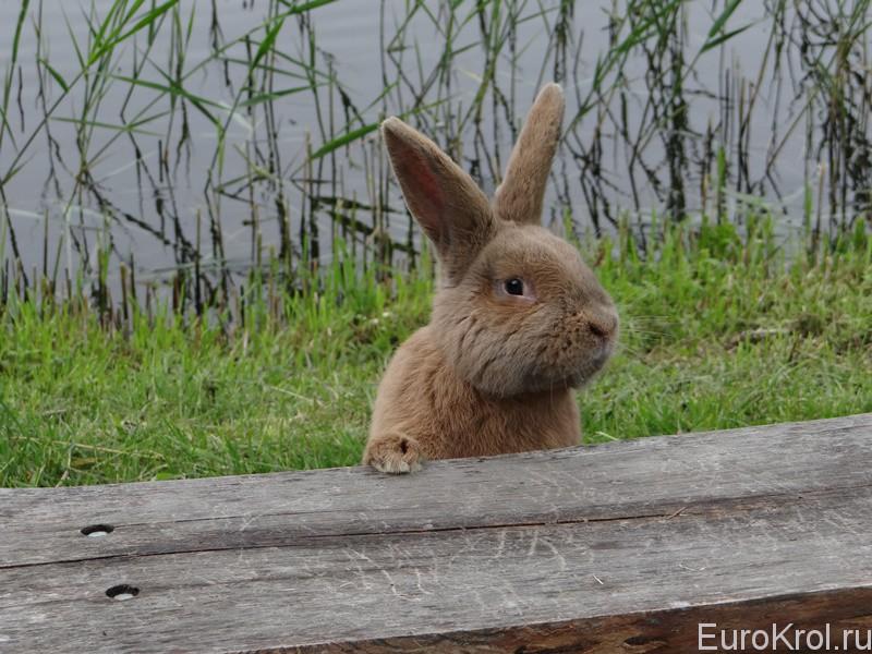 Земплинский пастеловый кролик у воды