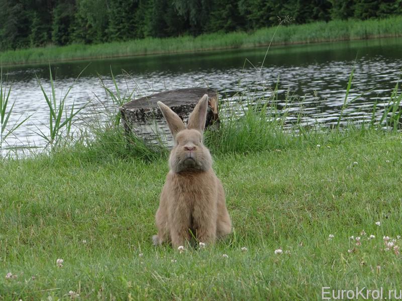Земплинский пастеловый кролик около пенька
