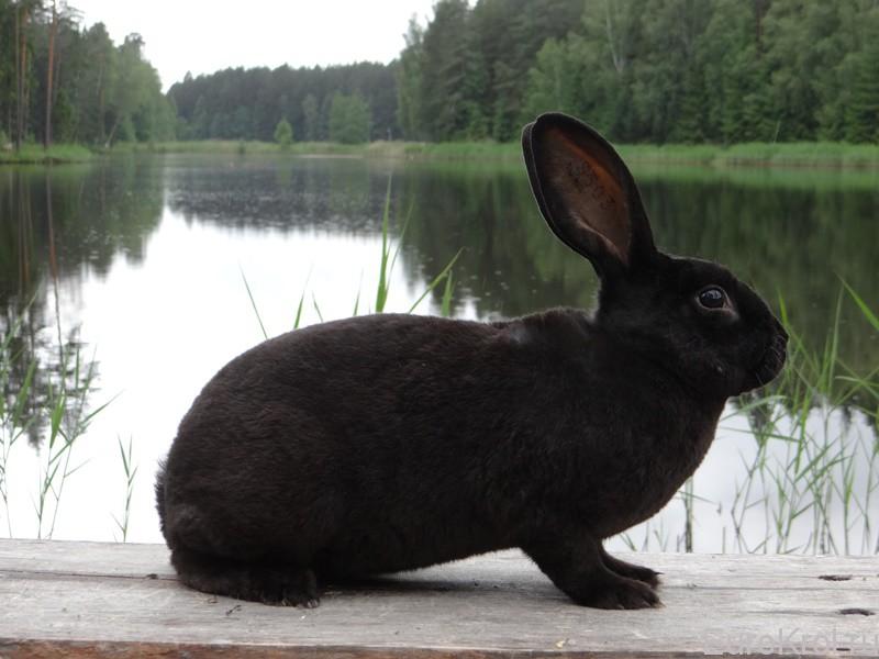 Кролик рекс чёрный
