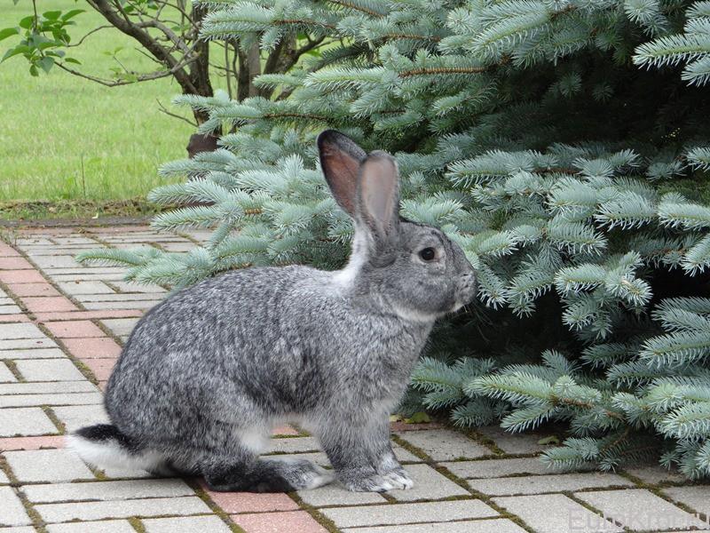 кролики Большая шиншилла