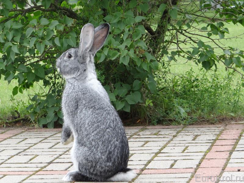 Кролики шиншиллового окраса