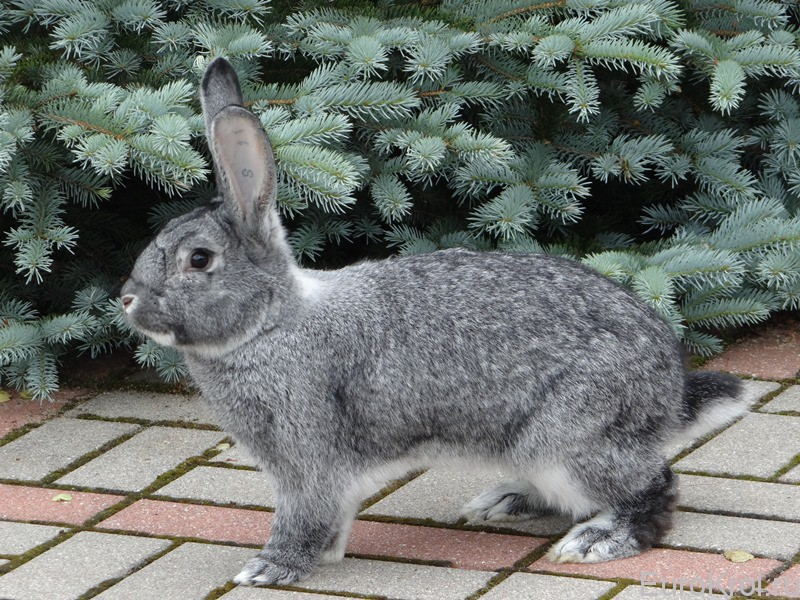 Порода кроликов шиншилла