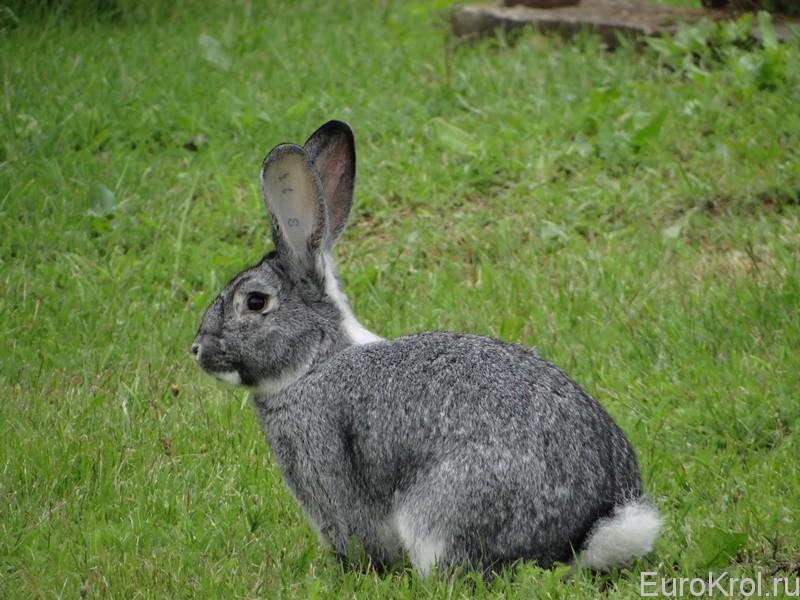 Кролики шиншилла