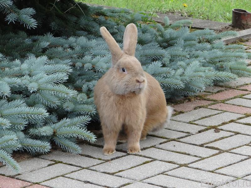 Земплинский пастеловый кролик около ели