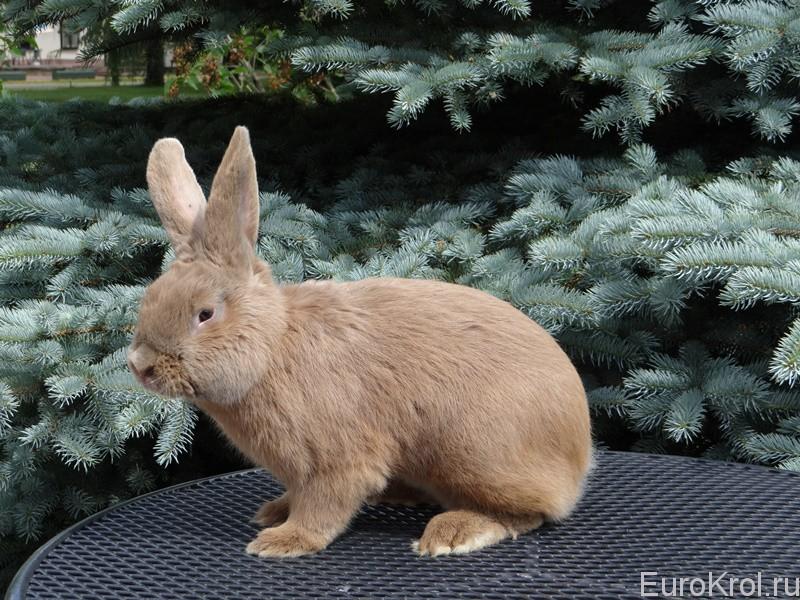 Красивый Земплинский кролик