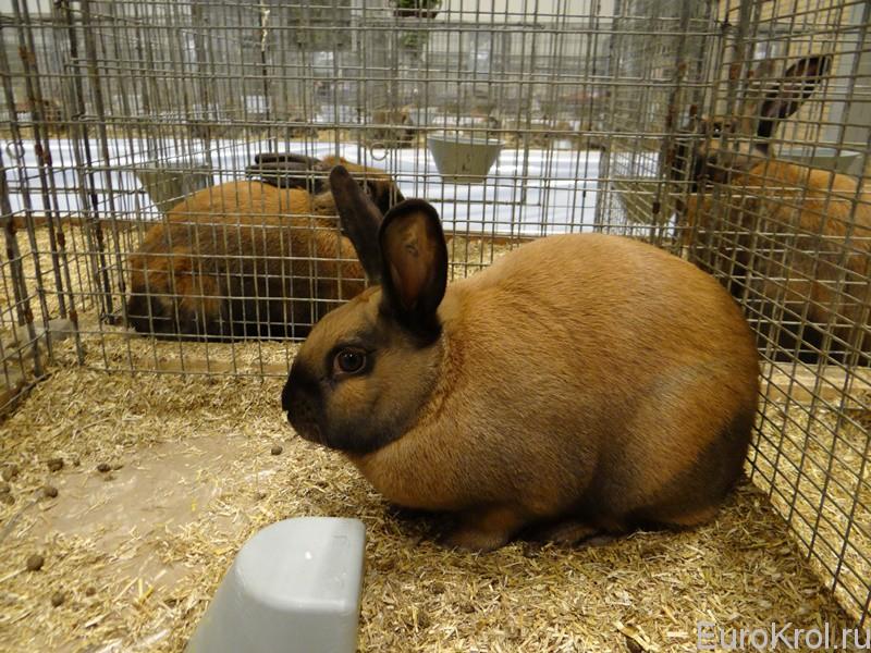 Тюрингский кролик