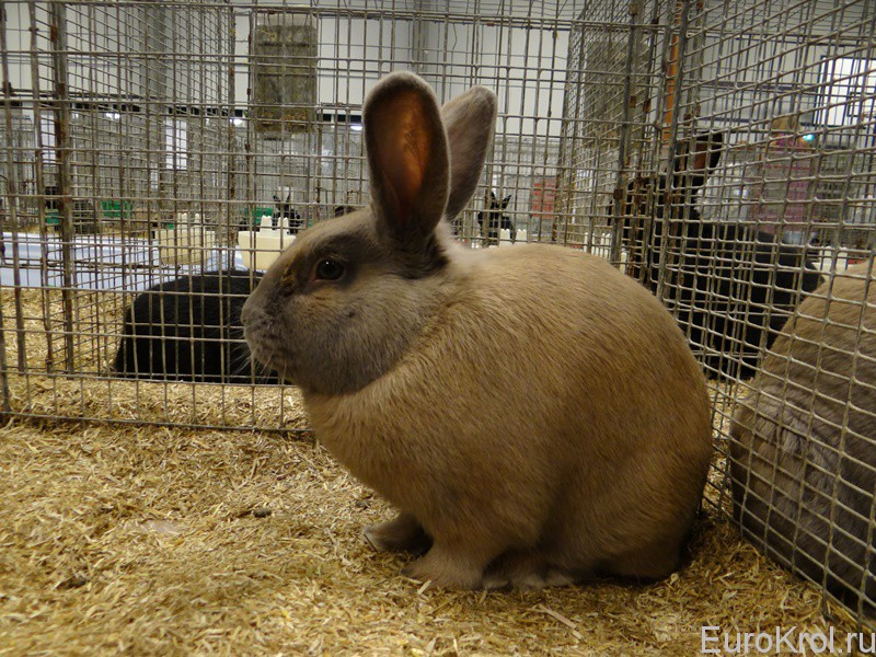 Кролики породы Изабелла